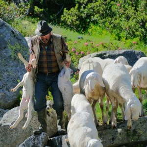 Sheperd leading his sheep through a mountain stream